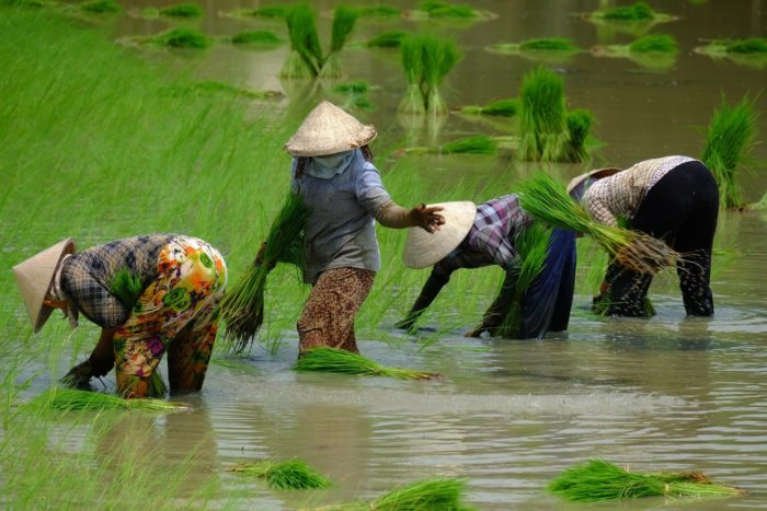 farmers with conical hats working in rice field